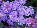 Ageratum from Flowers for Florists