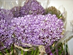 Allium - wholesale flowers from Flowers for Florists