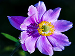 Anemones from Flowers for Florists