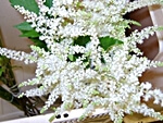 Astilbe - wholesale flowers from Flowers for Florists