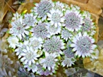 Astrantia - wholesale flowers from Flowers for Florists