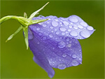 Campanula from Flowers for Florists