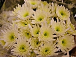Chrysanthemums - wholesale flowers from Flowers for Florists