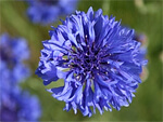 Cornflower from Flowers for Florists