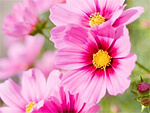 Cosmos from Flowers for Florists