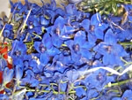 Delphinium - wholesale flowers from Flowers for Florists