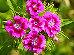 Dianthus from Flowers for Florists