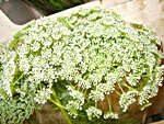 Dill -wholesale flowers from Flowers for Florists