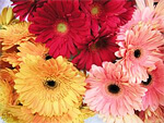Gerbera from Flowers for Florists