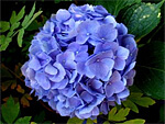 Hydrangea from Flowers for Florists