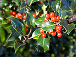 Ilex from Flowers for Florists