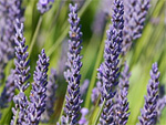 Lavender from Flowers for Florists
