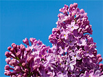 Lilac from Flowers for Florists