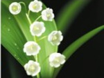 Lily of the Valley from Flowers for Florists