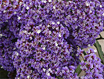 Limonium from Flowers for Florists