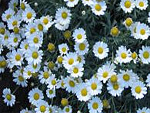 Marguerites from Flowers for Florists