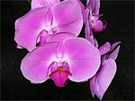 Orchids from Flowers for Florists