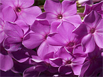 Phlox from Flowers for Florists