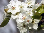 Prunus from Flowers for Florists