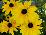 Rudbeckia from Flowers for Florists