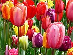 Tulips from Flowers for Florists