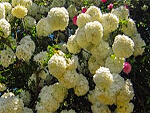 Viburnum from Flowers for Florists
