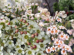 Waxflower from Flowers for Florists